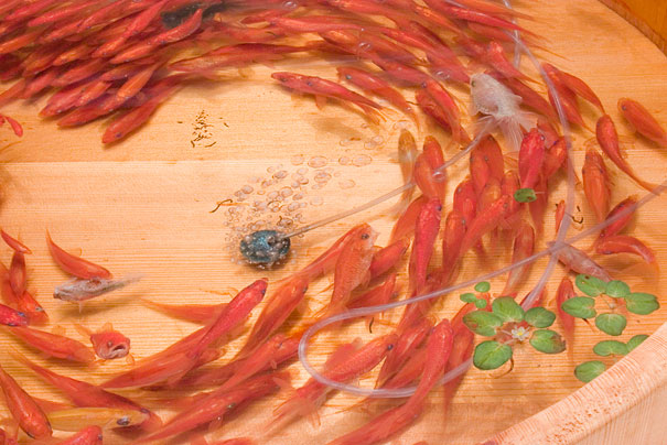 Breathtaking Japanese Artist Paints 3d Goldfish In Layers
